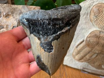 Megalodon Tooth - 5.25 inch #26