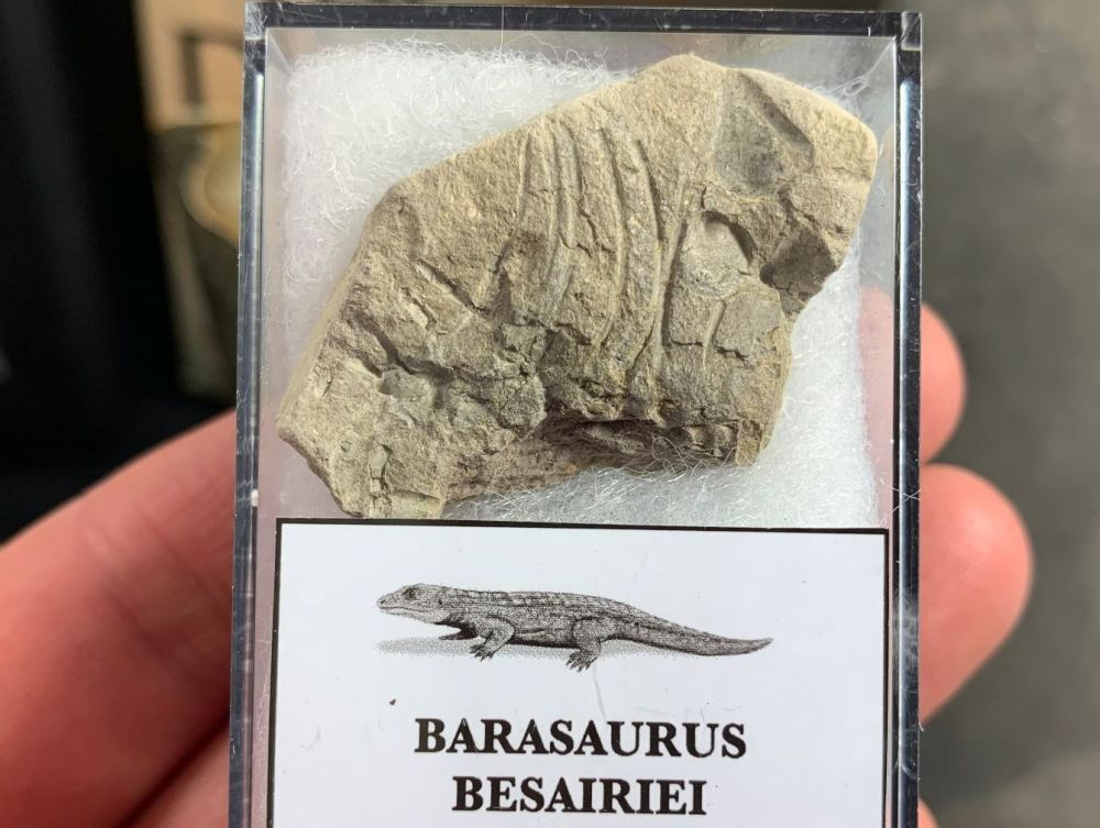 Barasaurus Fossil (Madagascar) #03