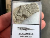 Barasaurus Fossil (Madagascar) #04