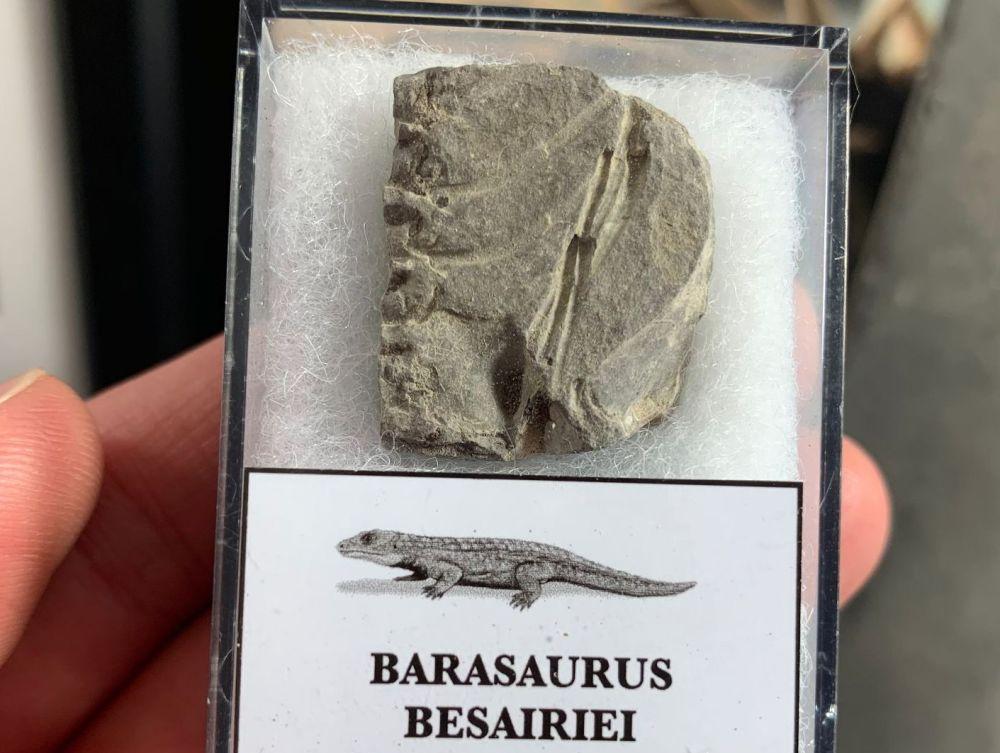 Barasaurus Fossil (Madagascar) #06