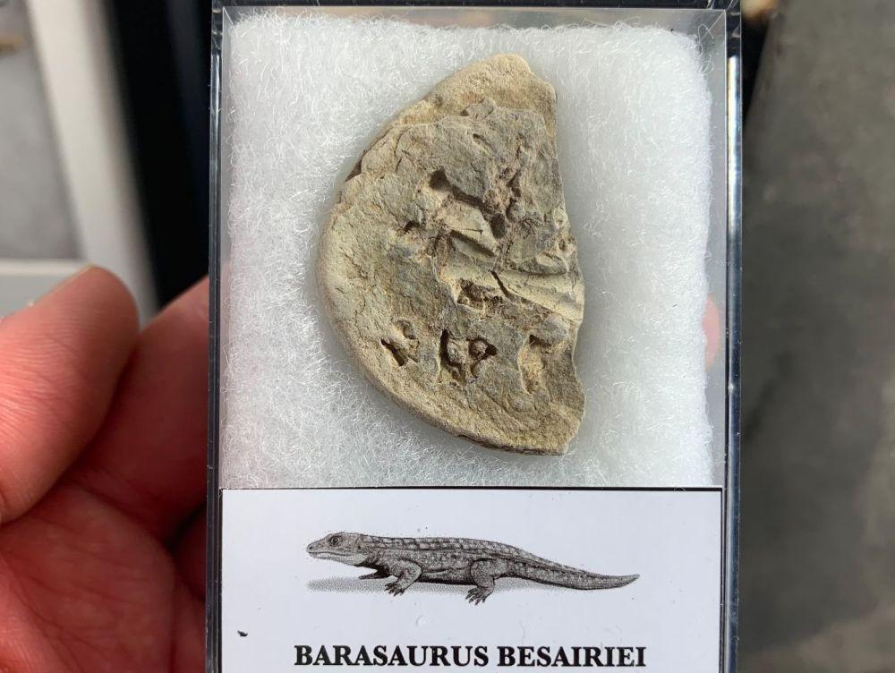 Barasaurus Fossil (Madagascar) #10