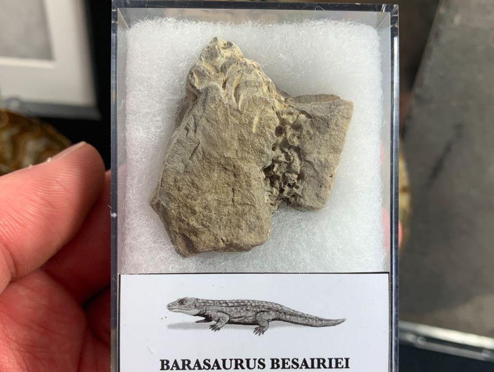 Barasaurus Fossil (Madagascar) #13