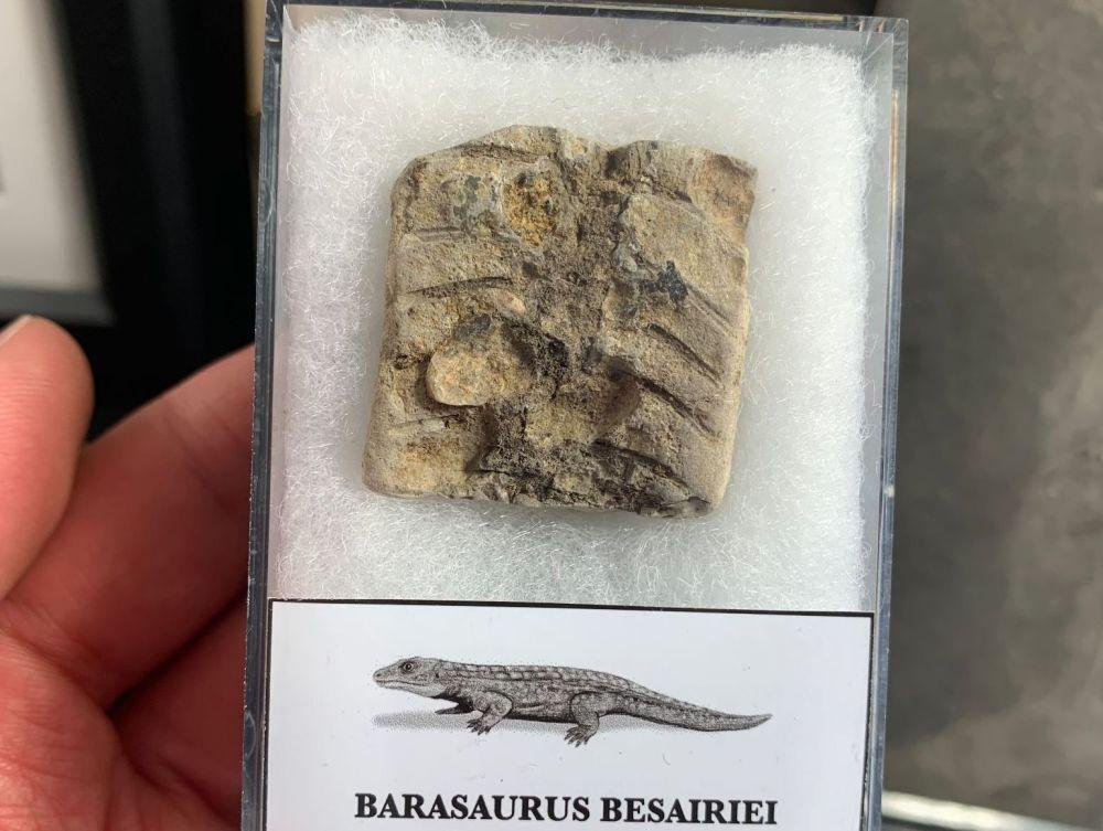 Barasaurus Fossil (Madagascar) #14