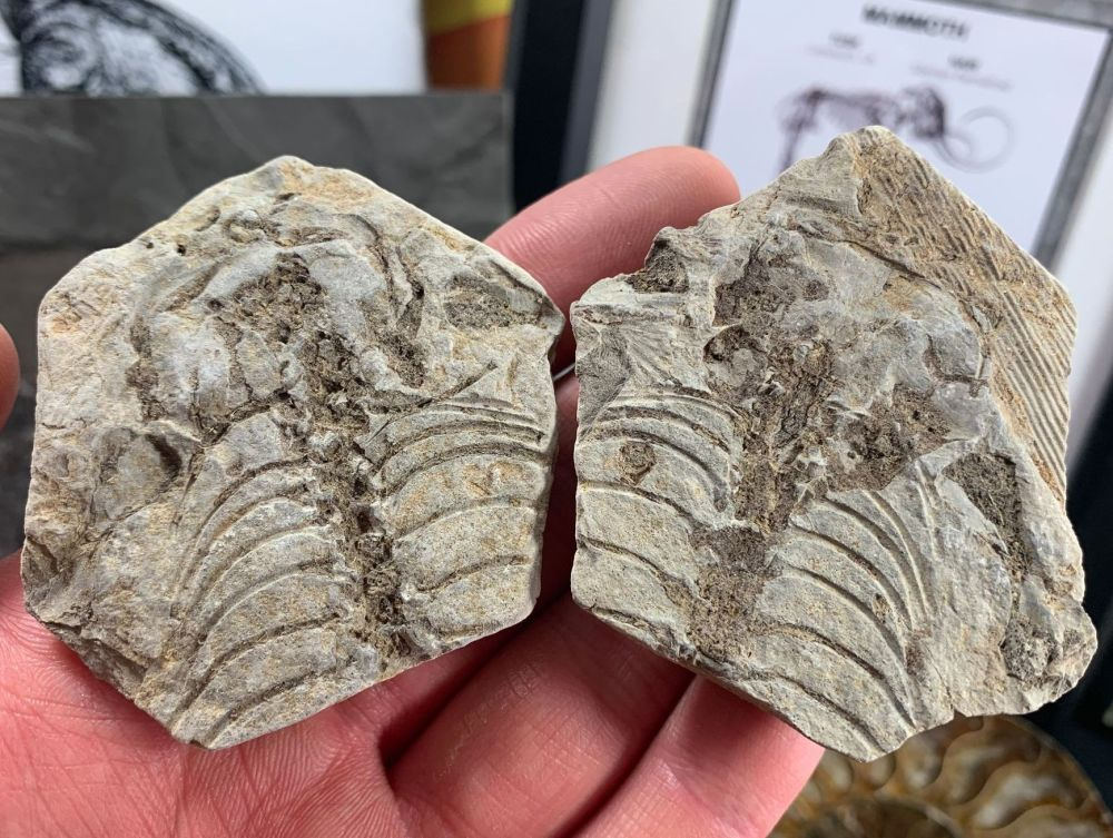 Barasaurus Fossil (Madagascar) #19