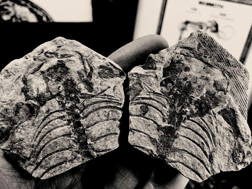 Barasaurus