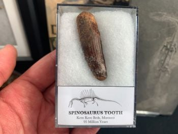 Spinosaurus Tooth - 1.81 inch #SP03