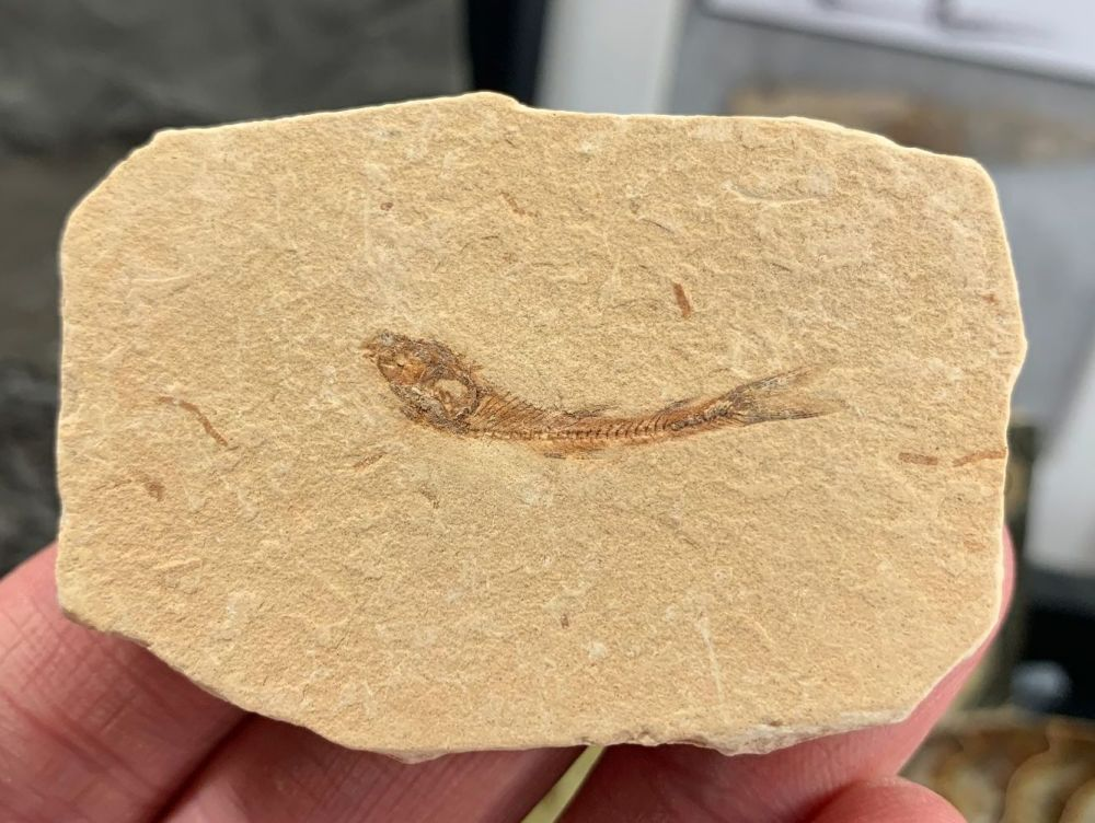 Dastilbe Fossil Fish (Brazil) #05