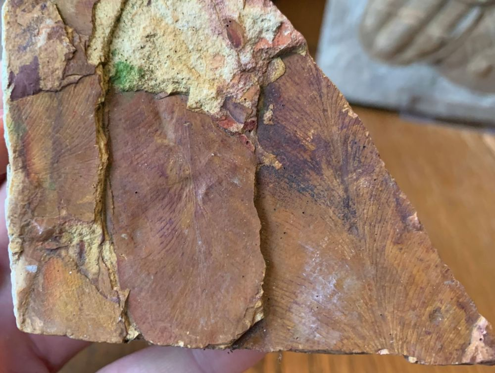 Glossopteris Leaves, Australia (Permian) #08