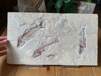 Large Fish Plate - Eurypholis, Scombroclupea, Hemisaurida (Lebanon) #01
