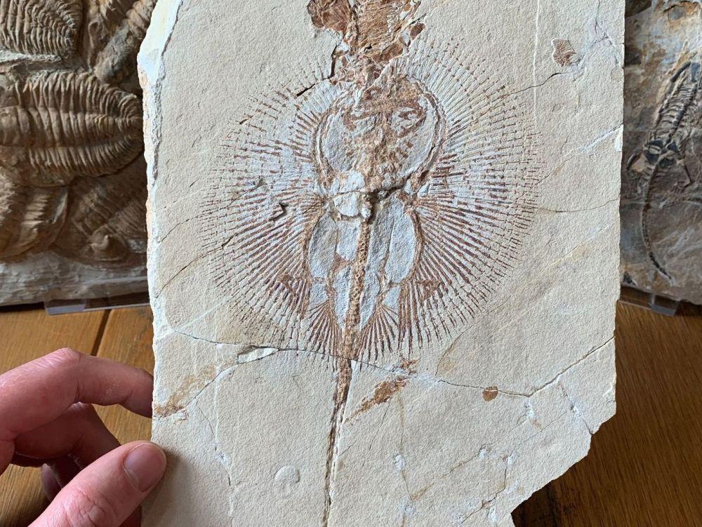 Cyclobatis Ray Fossil (Lebanon) #01