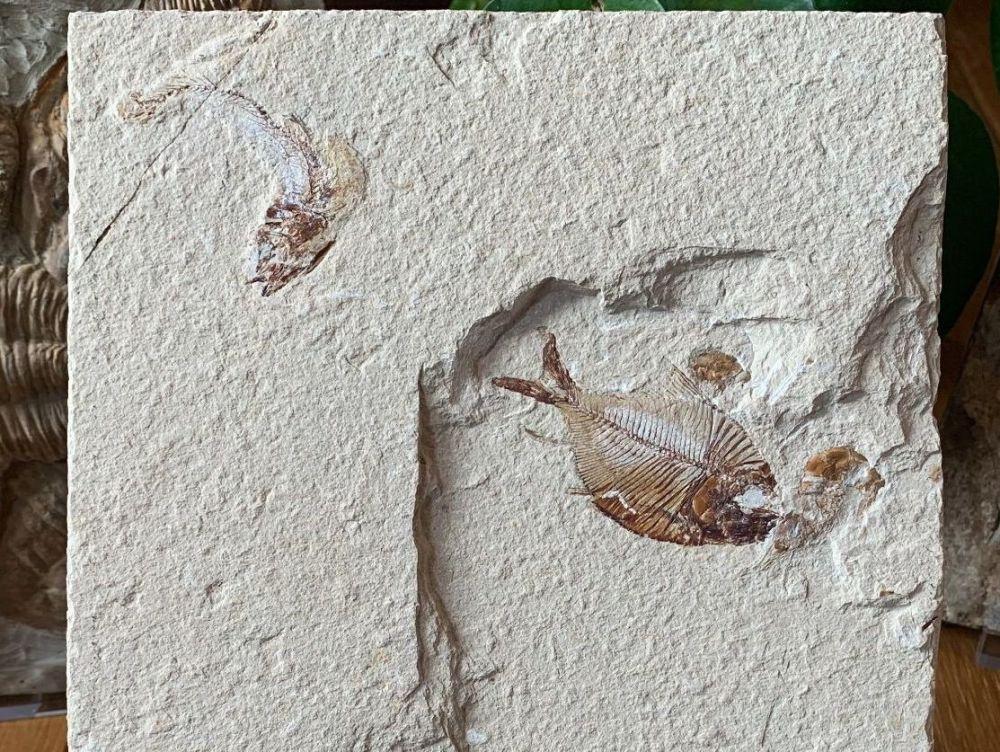 Diplomystus birdi Fossil Fish (Lebanon) #04