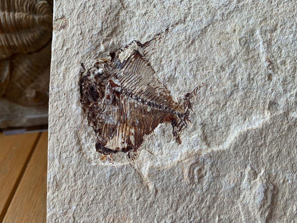 Aipichthys Fossil Fish (Lebanon) #05