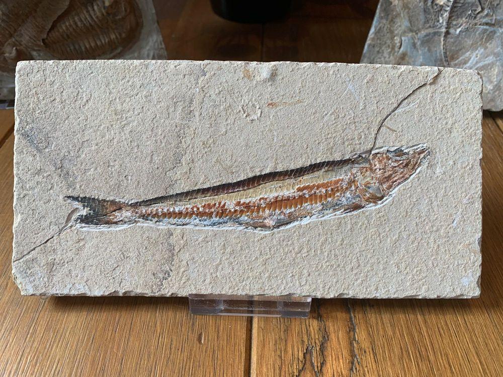 Prionolepis Fossil Viper Fish (Lebanon) #05