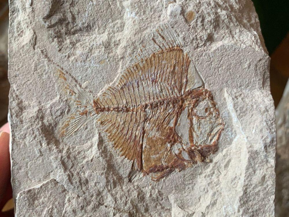 Aipichthys Fossil Fish (Lebanon) #10