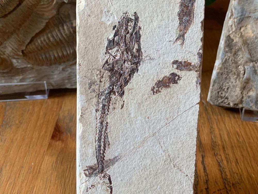 Eurypholis Viper Fish Fossil (Lebanon) #12