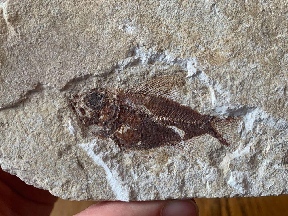 Pseudoberyx Fish Fossil (Lebanon) #13