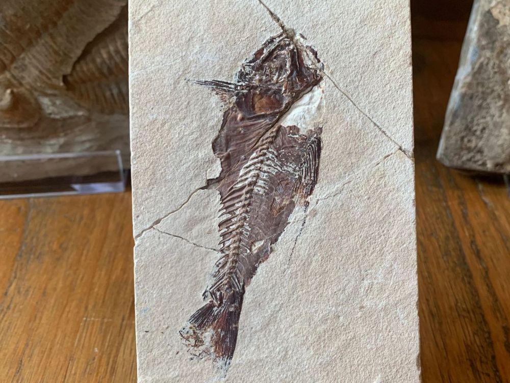 Nematonotus Fish Fossil (Lebanon) #13