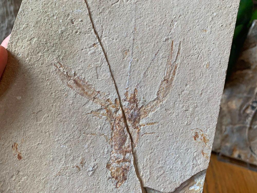 Pseudostacus hakelinsis Lobster Fossil (Lebanon) #15