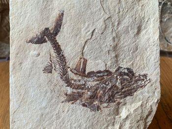 Eurypholis Viper Fish Fossil (Lebanon) #16