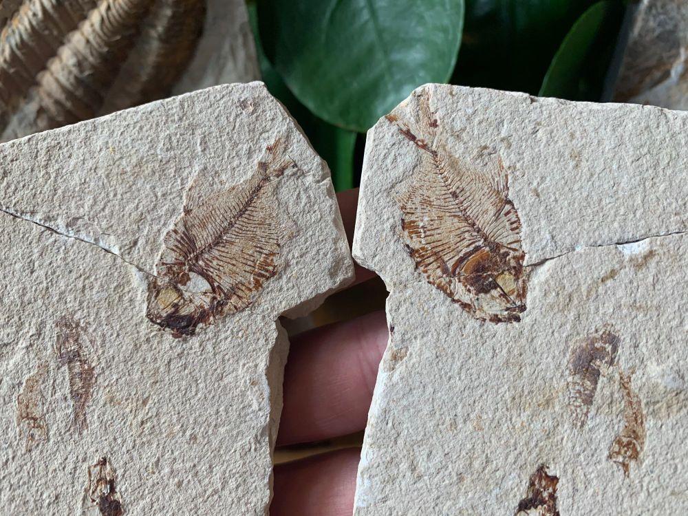 Diplomystus birdi Fossil Fish (Lebanon) #11