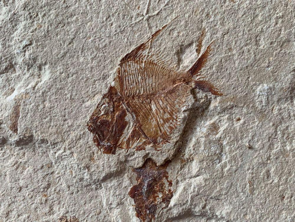 Aipichthys Fossil Fish (Lebanon) #17