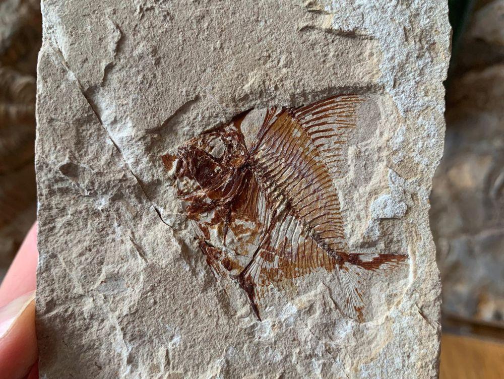 Aipichthys Fossil Fish (Lebanon) #18