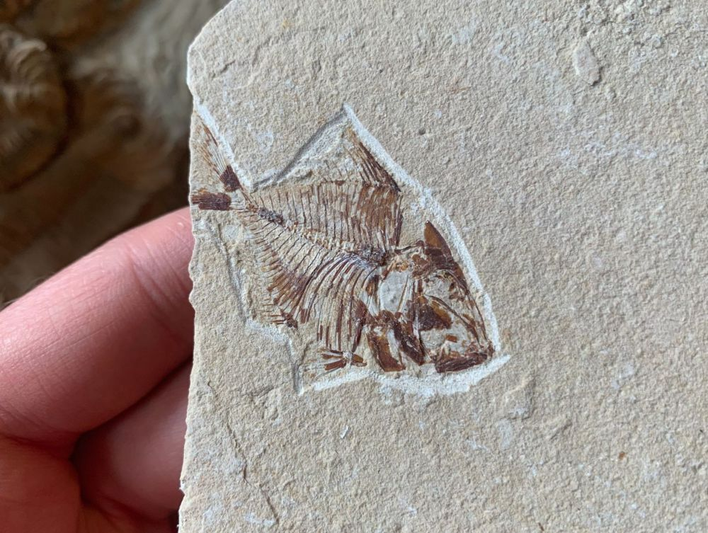 Pharmacichthys Fossil Fish (Lebanon) #19