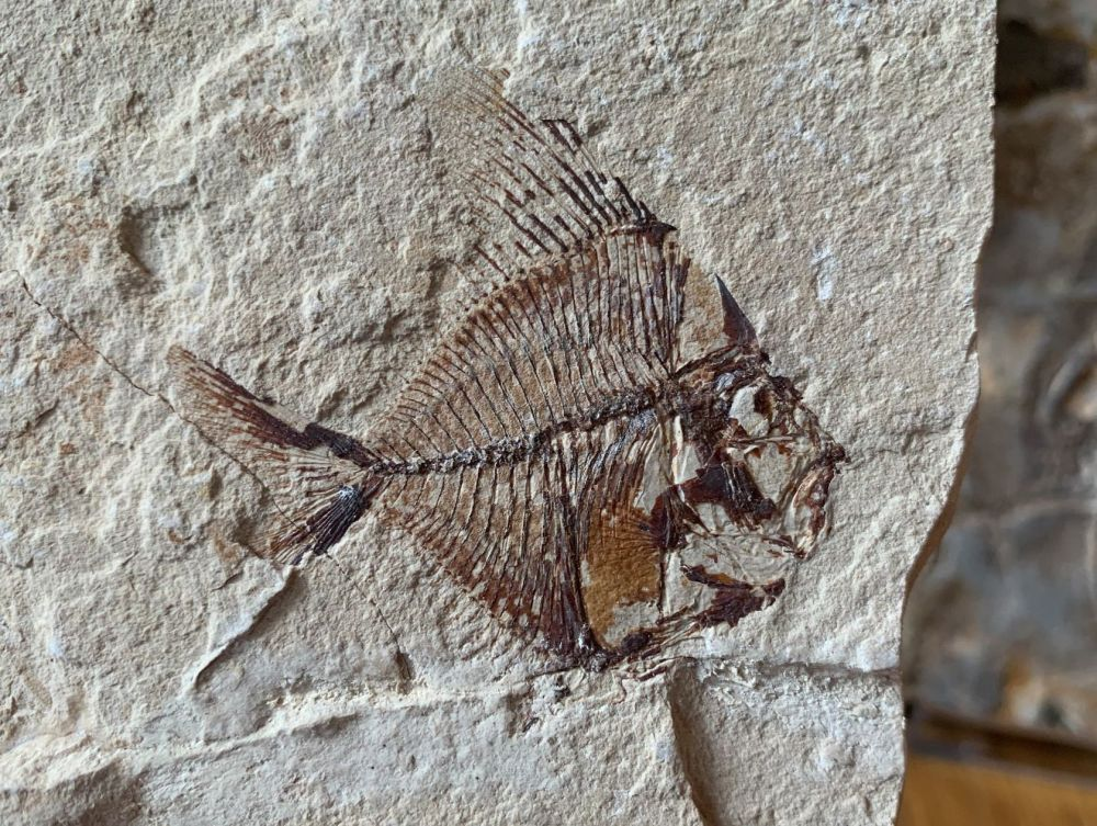 Aipichthys Fossil Fish (Lebanon) #20