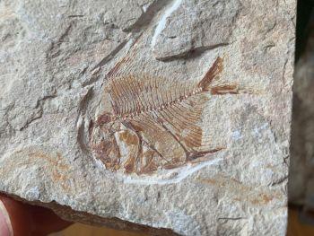 Aipichthys Fossil Fish (Lebanon) #21