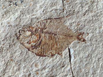 Pharmacichthys Fossil Fish (Lebanon) #26