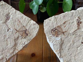 Aipichthys & Eurypholis Fossil Fish (Lebanon) #27