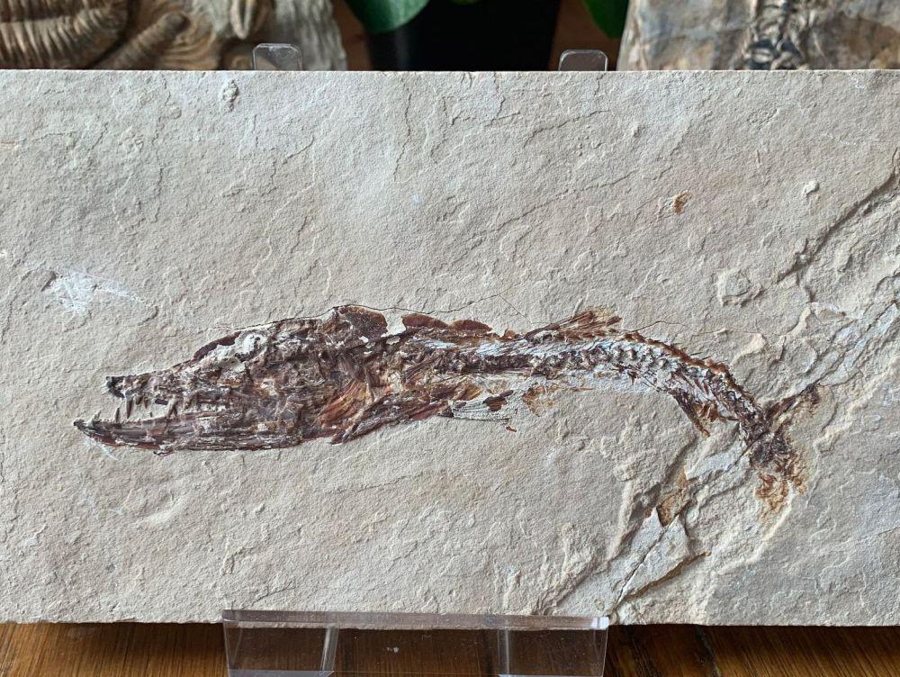Eurypholis Viper Fish Fossil (Lebanon) #28
