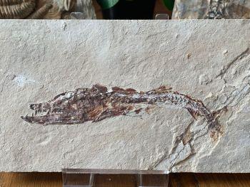 Eurypholis Viper Fish Fossil (Lebanon) #29