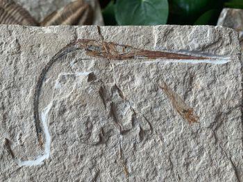 Dercetis Needle Fish Fossil (Lebanon) #30