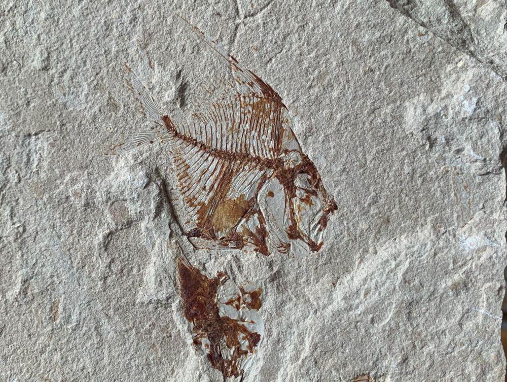 Aipichthys Fossil Fish (Lebanon) #31
