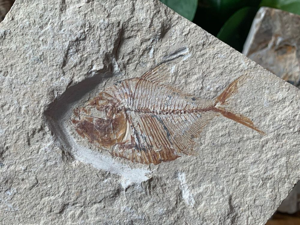 Diplomystus birdi Fossil Fish (Lebanon) #32