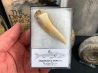 XL Enchodus Fish Tooth (Khouribga, Morocco) #04