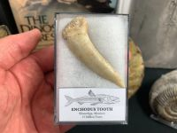 XL Enchodus Fish Tooth (Khouribga, Morocco) #05