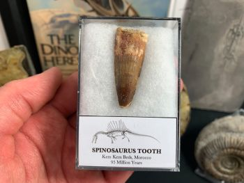 Spinosaurus Tooth - 1.75 inch #SP18