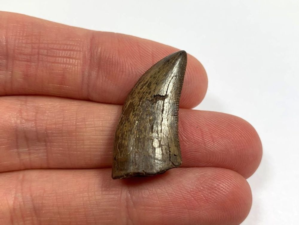 Daspletosaurus/Gorgosaurus Tooth (Judith River Fm.) #06