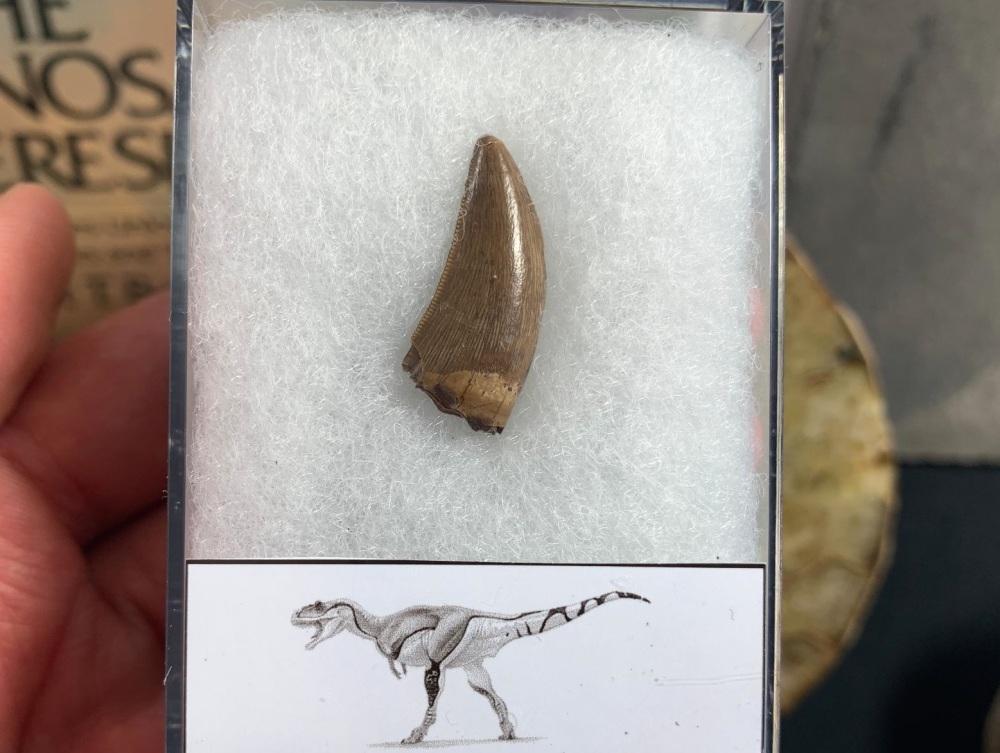 Daspletosaurus/Gorgosaurus Tooth (Judith River Fm.) #07