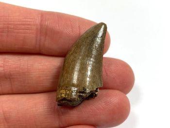 Daspletosaurus/Gorgosaurus Tooth (Judith River Fm.) #10