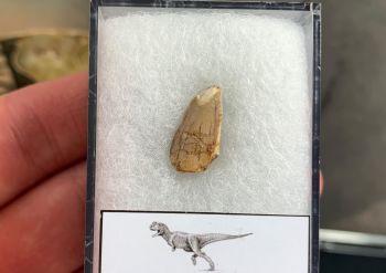 Abelisaur Dinosaur Tooth #AB01