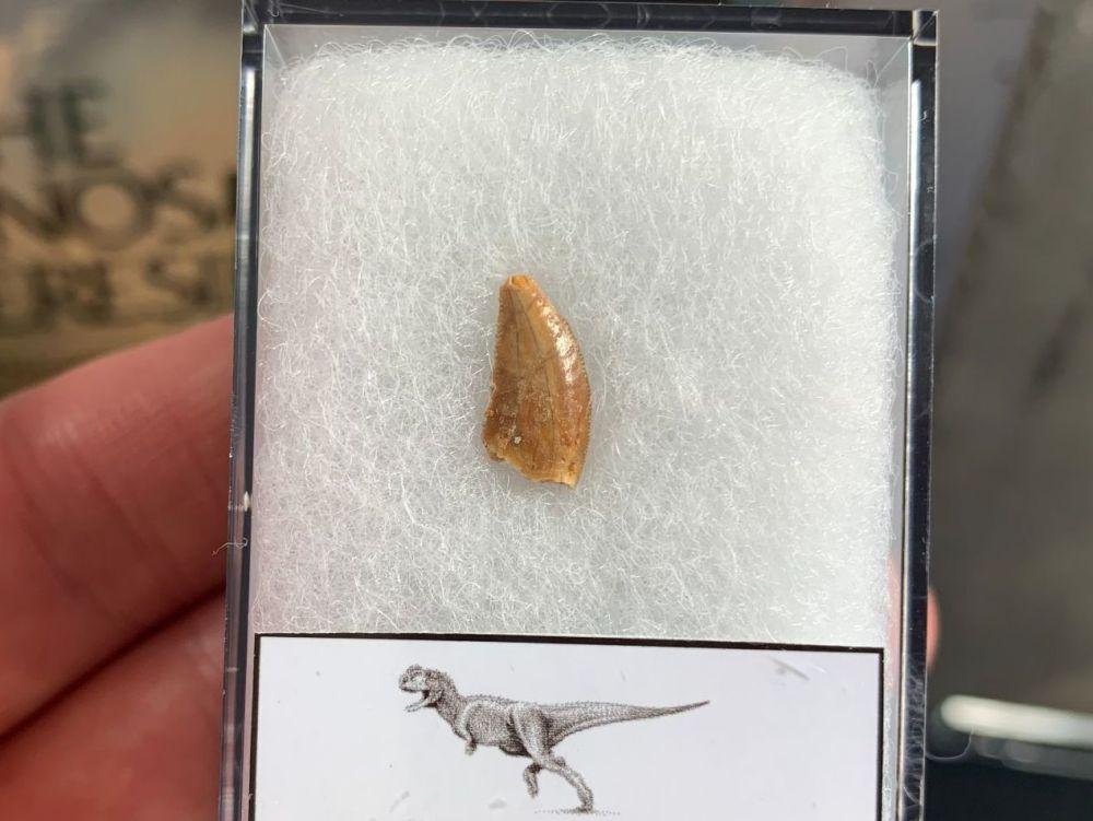 Abelisaur Dinosaur Tooth #AB02