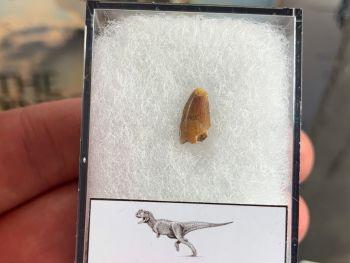 Abelisaur Dinosaur Tooth #AB03