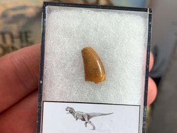 Abelisaur Dinosaur Tooth #AB10
