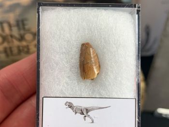 Abelisaur Dinosaur Tooth #AB12