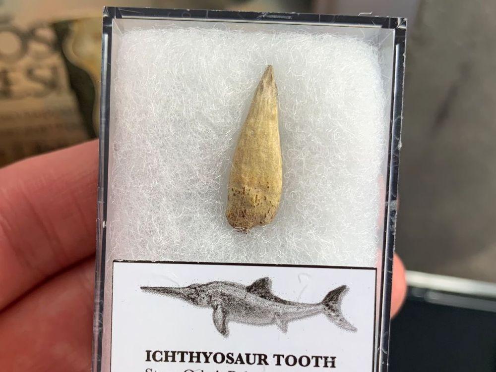 Ichthyosaur Tooth, Russia #02