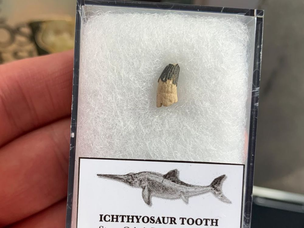Ichthyosaur Tooth, Russia #07