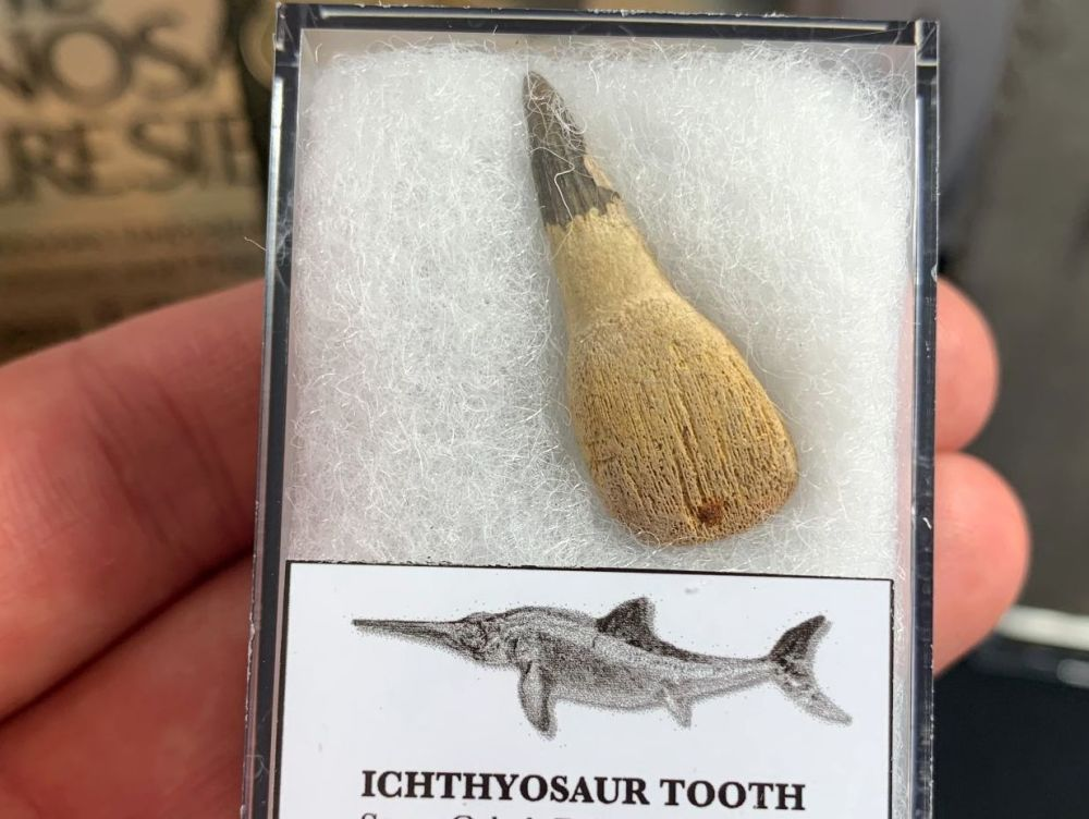 Ichthyosaur Tooth, Russia #10